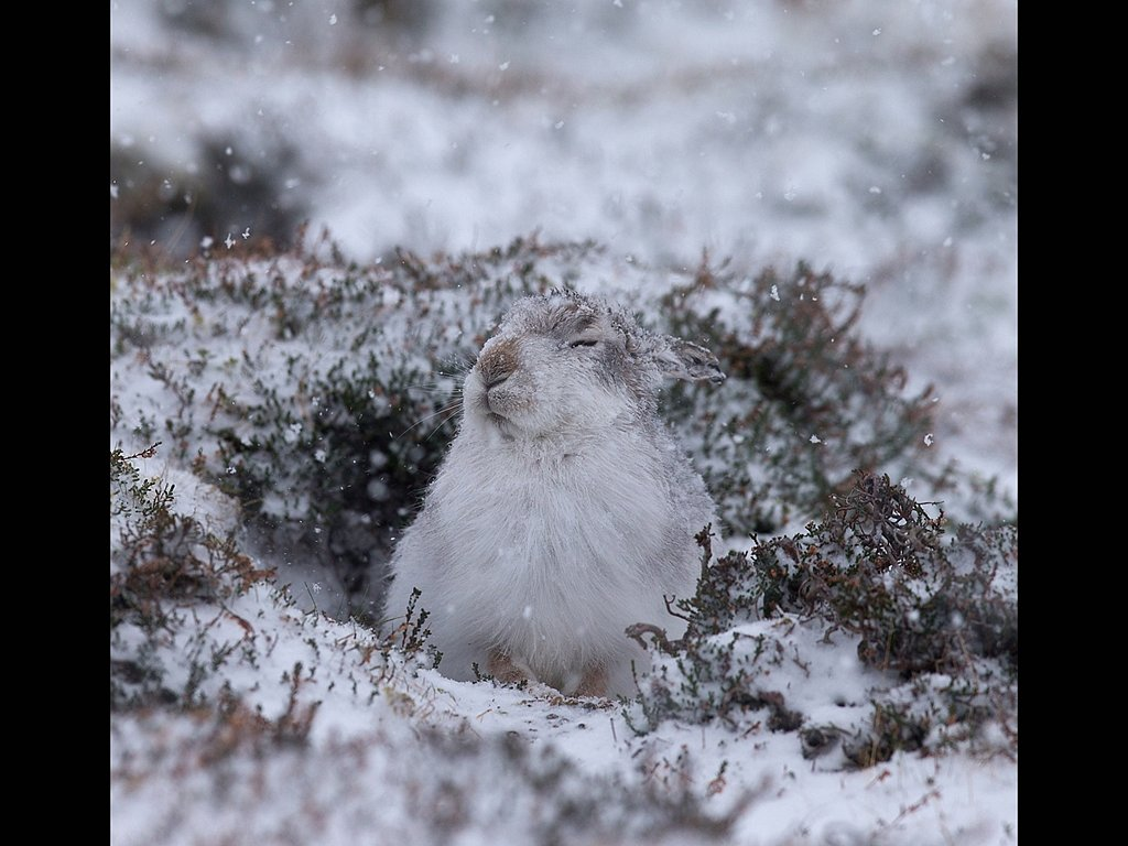 Mountain hare Findhorn (c) Jo McIntyre [Highly Commended]