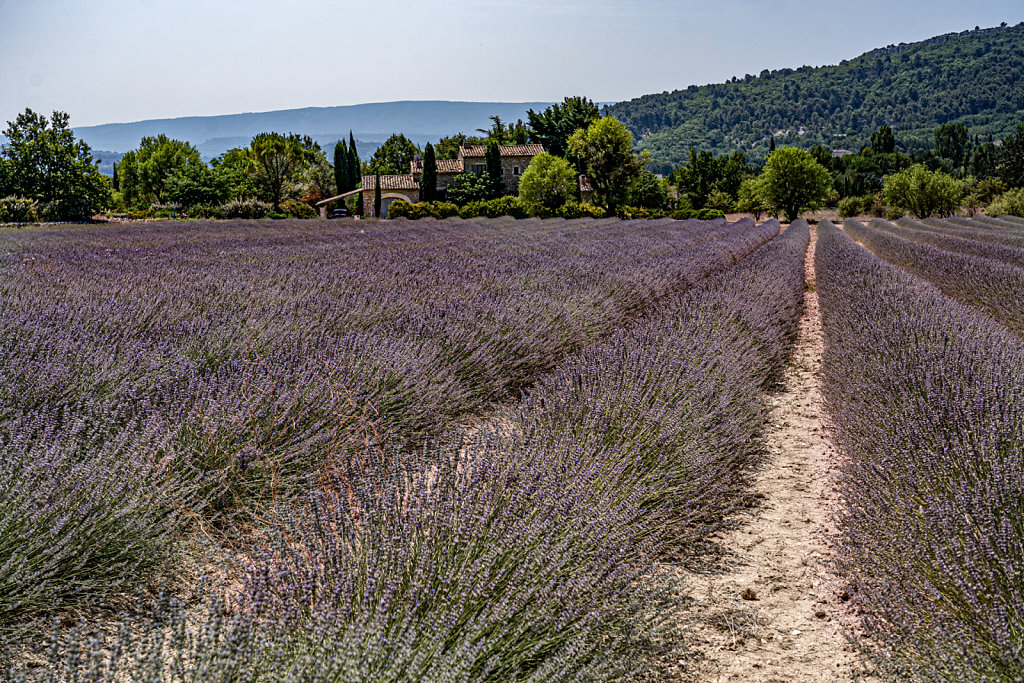 'Lavender of Provence' Copyright (C) Ruth Lochrie 2019