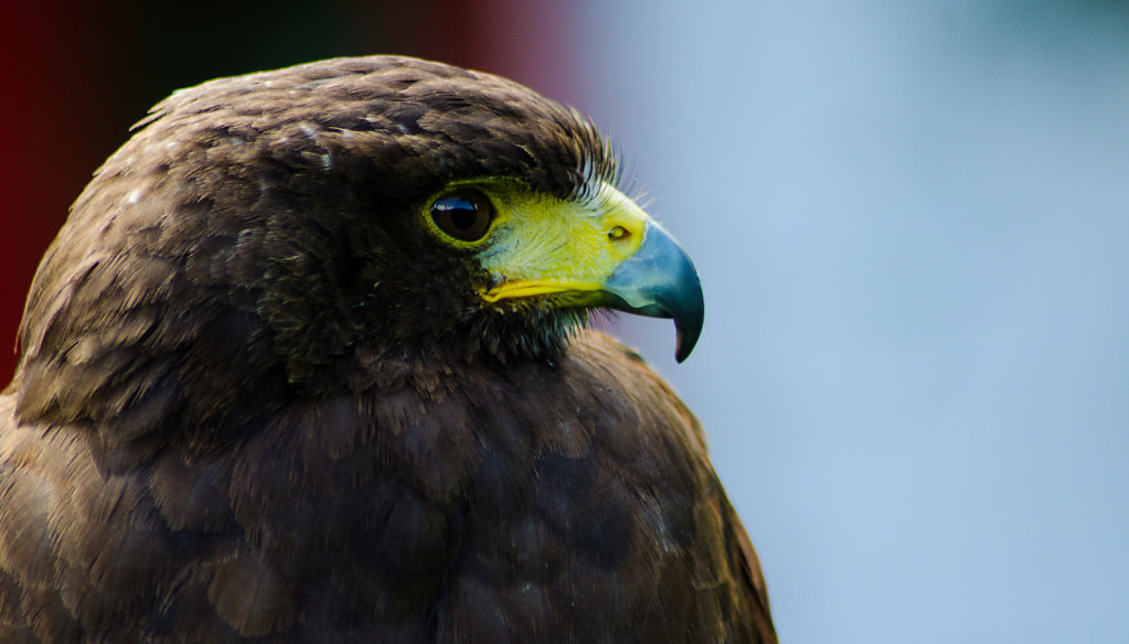 'Kie the harris hawk' Copyright (C) Phillip Almond 2019